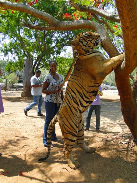 Tiger-6